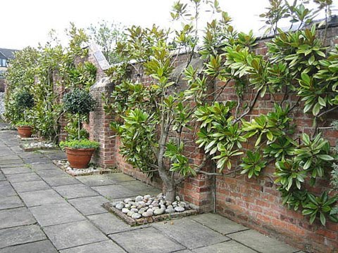 Wall trained Magnolia Grandiflora in courtyard setting