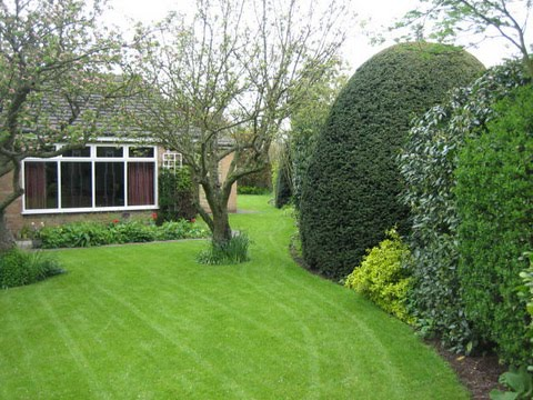 Large formally clipped Yew tree